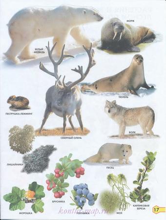 Растения и животные крайнего севера России. Карта растений ...: http://kontur-map.ru/1506346.html